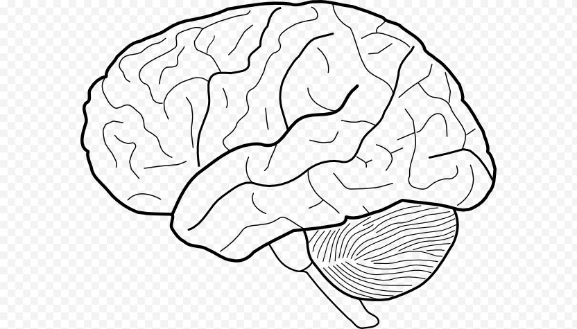 Outline Of The Human Brain Drawing Clip Art - Flower PNG