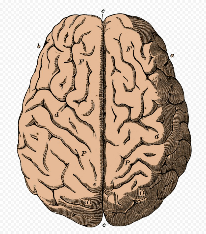Outline Of The Human Brain Neuron Clip Art - Watercolor PNG